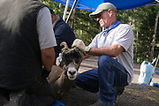 Rocky Mountain Bighorn Sheep are captured near Taos and relocated into historic bighorn sheep habitat near Cochiti Canyon in the Jemez Mountains of the Santa Fe National Forest by the New Mexico Department of Game and Fish.