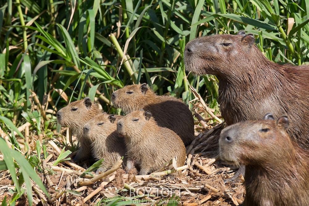 Group of capybaras (Hydrochaeridae hydrochoeris), Pantanal, Brazil