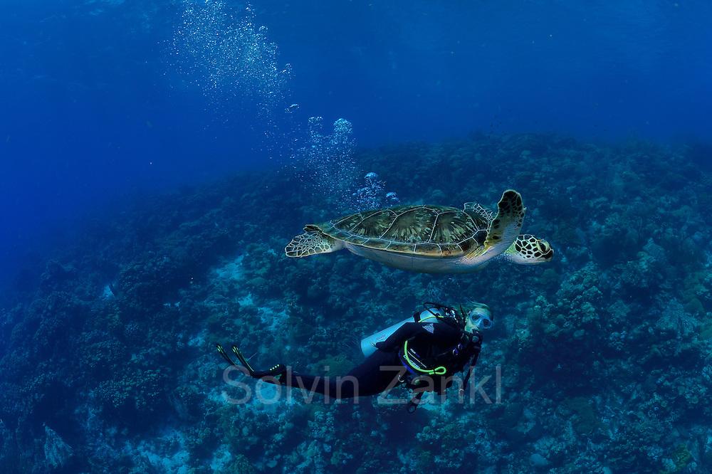 Schnorchelnd suchen die Forscher nach Meeresschildkröten im Riff. Hier wurde eine Karettschildkröte (Eretmochelys imbricata) entdeckt.