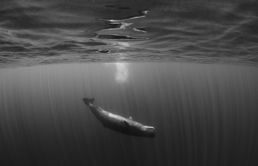 Sperm whale playing in black and white