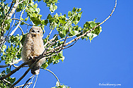 Young great horned owlet in cottonwood tree at Theodore Roosevelt National Park in North Dakota