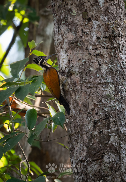 The greater flameback (Chrysocolaptes guttacristatus) also known as greater goldenback, large golden-backed woodpecker or Malherbe's golden-backed woodpecker, is a woodpecker species.