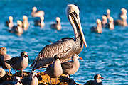 California brown pelicans, Avila Beach, California USA