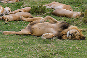 Male lion sleeping, Serengeti National Park