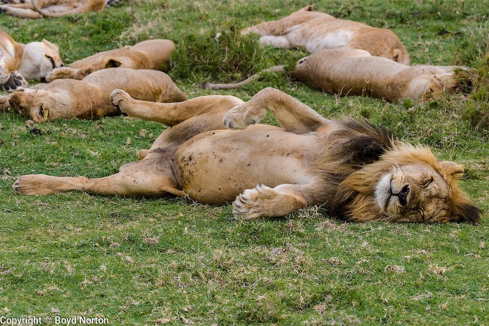 Male lion sleeping, Serengeti National Park