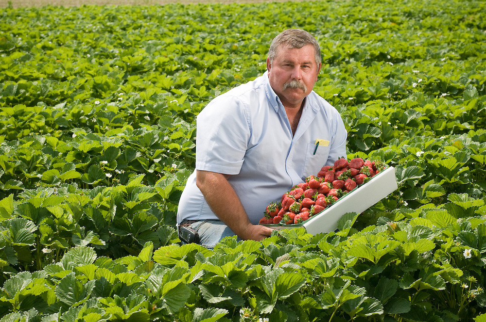 Man harvesting strawberries in the field