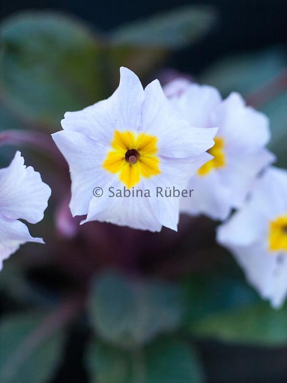 Primula 'Guinevere' - polyanthus