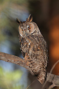 Long-eared Owl (Asio otus) in a tree. This owl inhabits woodland near open country throughout the northern hemisphere. It is strictly nocturnal and feeds mainly on small mammals such as mice and voles Photographed in Israel in June