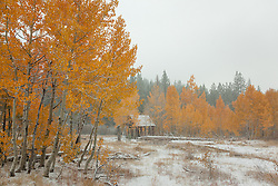 """Shack in the Aspens 6"" - Photograph of yellow leaved aspens and an old shack near the summit of Hwy 267 in Tahoe. Shot in the fall while it was snowing."