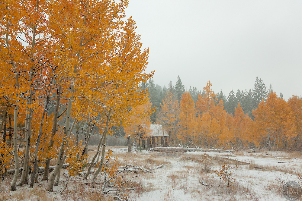 """""""Shack in the Aspens 6"""" - Photograph of yellow leaved aspens and an old shack near the summit of Hwy 267 in Tahoe. Shot in the fall while it was snowing."""