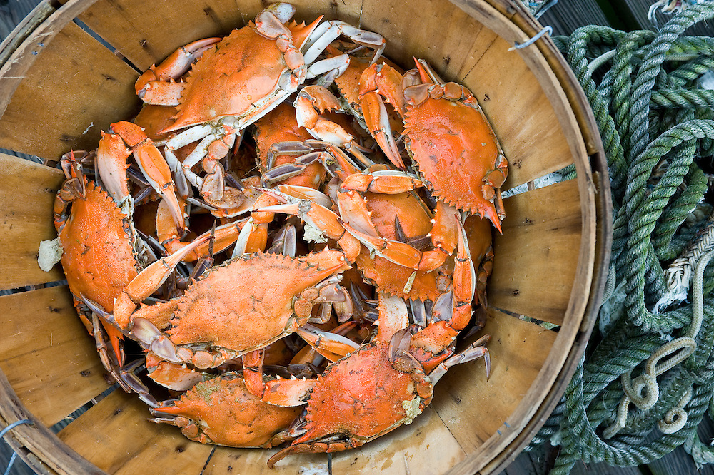 Steamed Crabs on the eastern shore of Maryland USA