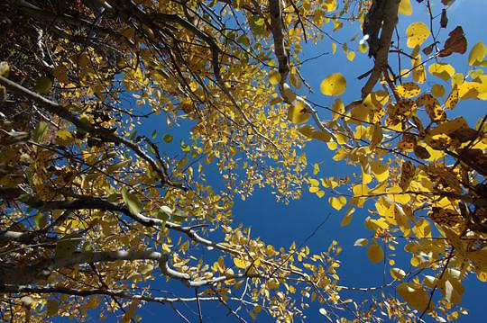 Golden aspen trees(Populus tremula) Grand Teton National Park. Wyoming. Fall.