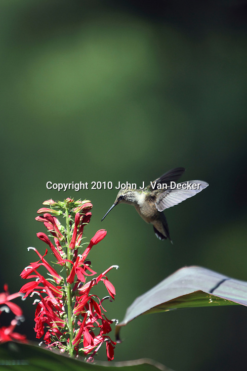 Ruby-throated Hummingbird, Archilochus colubris, hovering near red Cardinal Flowers, Lobelia cardinalis. Leamings Run Gardens, Cape May Court House, New Jersey, USA, North America.