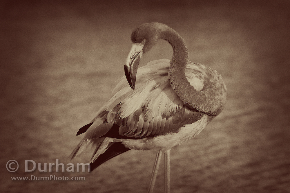 Greater Flamingo (Phoenicopterus ruber) near Bachas Beach on Santa Cruz Island (Indefatigable Island), Galapagos Islands, Ecuador. A filter has been applied to imitate a vintage photo look.