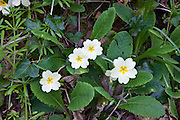 Spring and summer wildflowers Primroses, Primula vulgaris, with ivy and cleavers Galium aparine in Cornwall