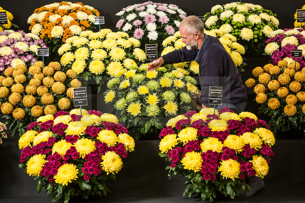 © Licensed to London News Pictures. 17/09/2015. Harrogate, UK. Picture shows Martyn Flint of Chrysanthemums direct arranging his display at the 40th Harrogate Autumn Flower show. Photo credit: Andrew McCaren/LNP