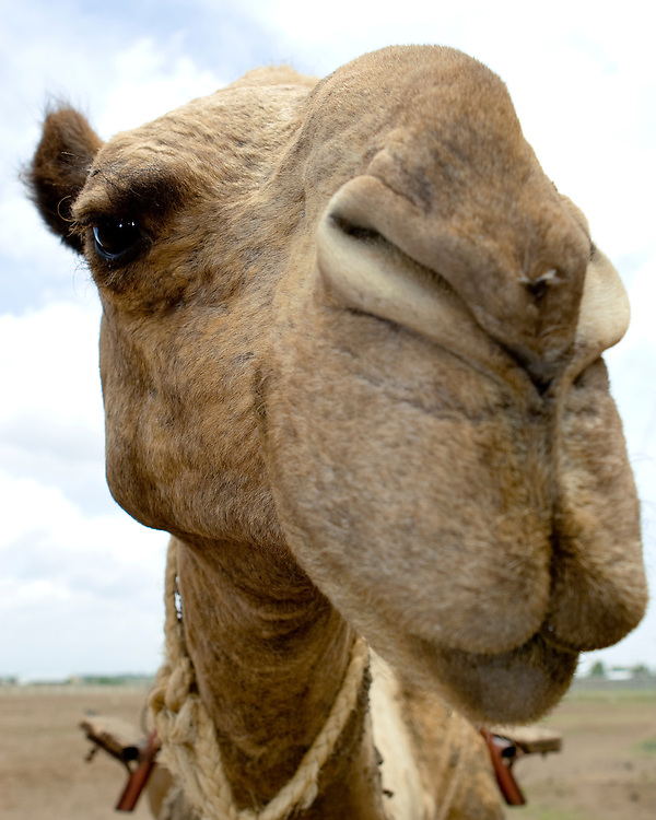 (Camelus dromedarius) Closeup Look at the Face of a Camel