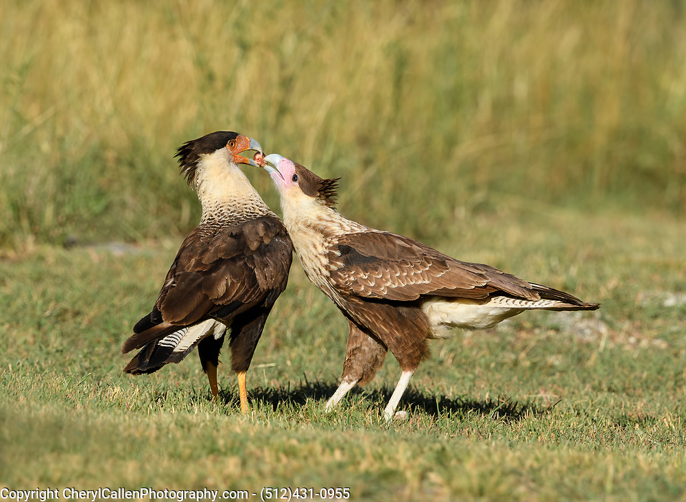 Crested Caracara feeding its young