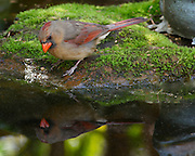 Image of a female cardinal