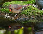 Image of a female cardinal