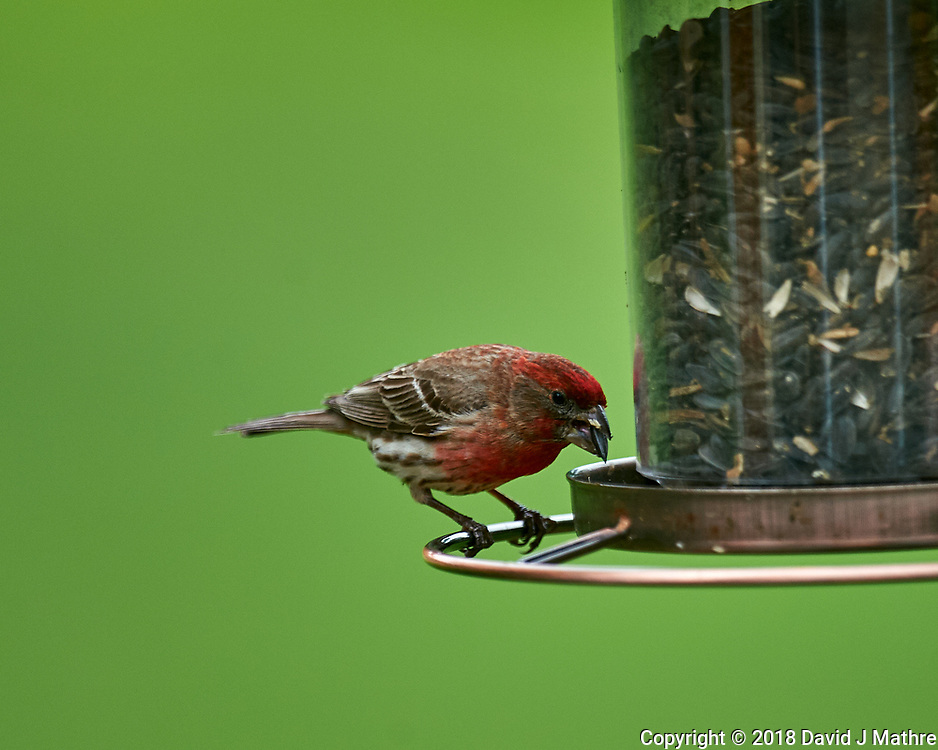 House Finch at the Bird Feeder. Image taken with a Nikon D4 camera and 600 mm f/4 VR lens