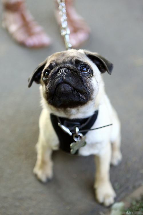 Jake the 3-month-old pug puppy