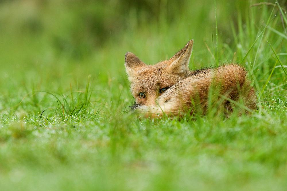 Red Fox cubs. Amsterdamse waterleidingduinen, The Netherlands. June 2011.<br /> <br /> Rode vos welp. Amsterdamse waterleidingduinen, Nederland. Juni 2011.
