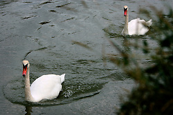 UK ENGLAND WEST SUSSEX UPPER BEEDING 11AUG06 - A group of swans swim against the tide on the river Adur in West Sussex...jre/Photo by Jiri Rezac..© Jiri Rezac 2006..Contact: +44 (0) 7050 110 417.Mobile:  +44 (0) 7801 337 683.Office:  +44 (0) 20 8968 9635..Email:   jiri@jirirezac.com.Web:    www.jirirezac.com..© All images Jiri Rezac 2006 - All rights reserved.