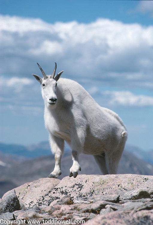 Mountain Goat on Mount Evans, Colorado