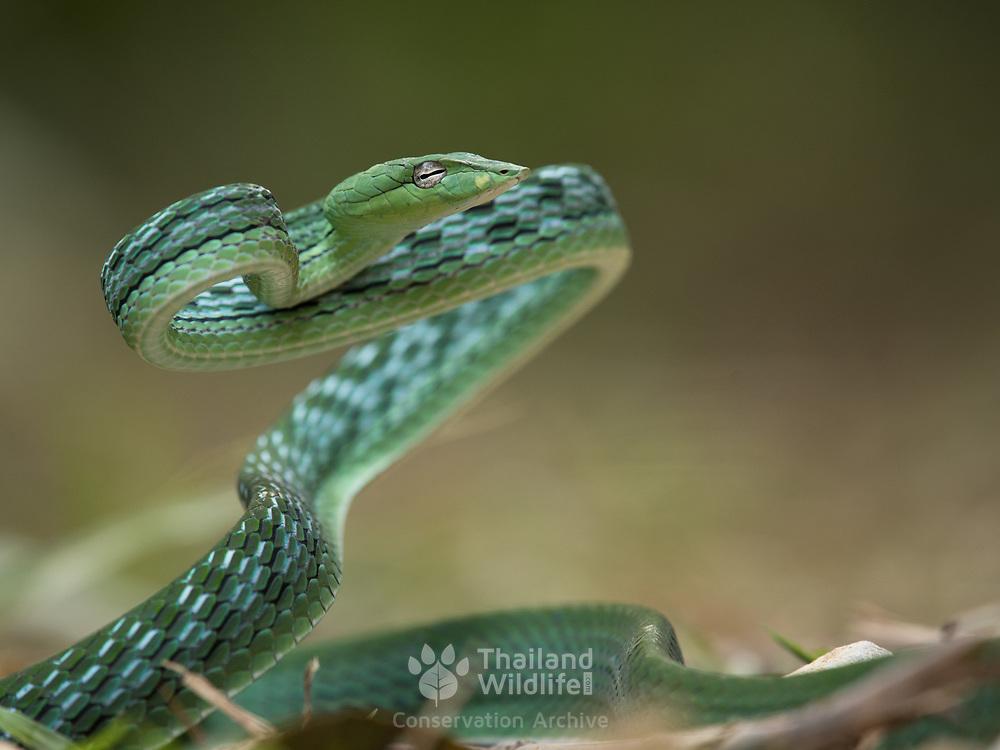 Oriental Vine Snake (Ahaetulla prasina) in Kaeng Krachan national park, Thailand