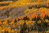 Autumn aspen patterns along Lower St Mary Lake near St Mary, Montana, USA