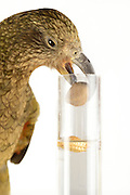 [captive] In this experiment, the Kea (Nestor notabilis) is presented three tubes filled with water, large or small stones. The Kea learns to drop stones into the tube filled with water until the water level has risen high enough for the Kea to pick up a nut. The picture was taken in cooperation with the University of Vienna (UniVie) and University of Veterinary Medicine Vienna (VetMed). Sequence 6/16. | In diesem Experiment werden dem Kea (Nestor notabilis) drei Röhrchen präsentiert, die entweder mit Wasser, kleinen oder großen Steinchen gefüllt sind. Der Kea wirft gezielt Steine in die Säule mit Wasser, bis die darin befindliche Nuss hoch genug schwimmt, um vom Kea erreicht zu werden. Das Bild wurde in Zusammenarbeit mit der Veterinärmedizinischen Universität Wien und der Universität Wien erstellt. Sequenz 6/16.