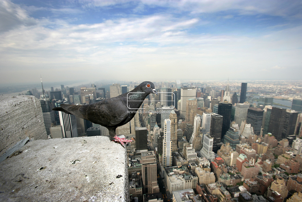 """15th November 2007, Beware tourists to New York City, a proposed ban on feeding the city's pigeons could carry a US$1000 fine. City Councilman want to introduce legislation to ban pigeon feeding and fine those caught flouting the ban. """"If people like pigeons, take them into their homes, feed pigeons in your house and let them crap all over the place in your living rooms."""" said City Councilman Simcha Felder, who is heading the ban. In London, Mayor Ken Livingstone has banned pigeon feeding in Trafalgar Square, closed down the official feed vendors there, and has sent hawks to infiltrate and scare the lingering pigeons. An attempt to use hawks in Manhattan's Bryant Park a few years ago was scrapped after a hawk attacked a pet Chihuahua. Pictured is a Pigeon on top of New York's Empire State Building..© JOHN CHAPPLE / www.johnchapple.com"""