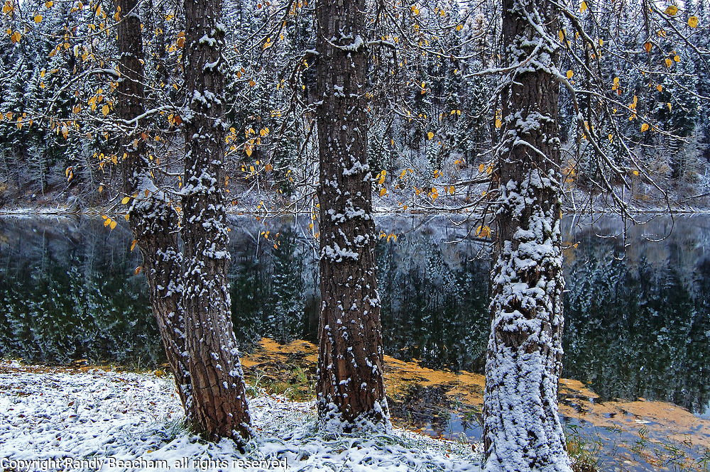 Cottonwood trees along Vinal Lake after a snowstorm in fall. Yaak Valley Montana