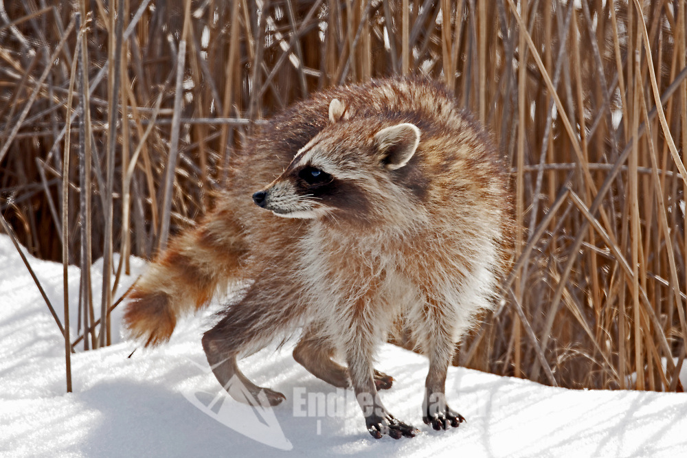 A Raccoon walks down a snowy canal in a northern Utah bird refuge its winter and everything is looking for food.
