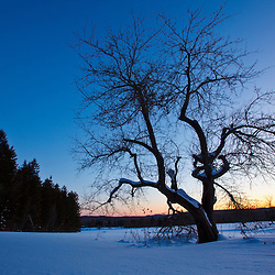 An apple tree at sunset. Winter at the Notchview Reservation in Windsor, Massachusetts. The Trustees of Reservations.