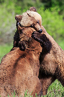 A bear hug in the Khutzeymateen Grizzly Bear Sanctuary, BC, Canada