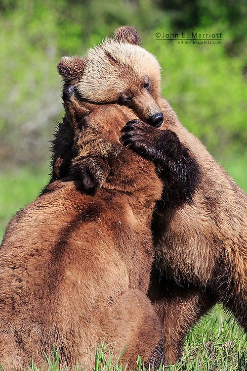 A bear hug in the Khutzeymateen Grizzly Bear Sanctuary, BC, Canada