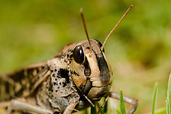 Cricket/ Locust, Bream Head, Unknown