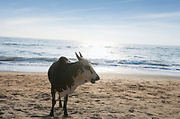 Cow standing on Vagator Beach, Goa, Panaji, India