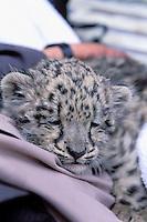 Pakistan. Northen Area. Hunza area. Baby snow leopard. // Pakistan. Territoires du nord. Region de Hunza. Bébé leopard des neiges.