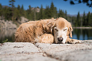 Dog sleeping next to Lane Lake, Hoover Wilderness, Humbolt-Toiyabe National Forest, California