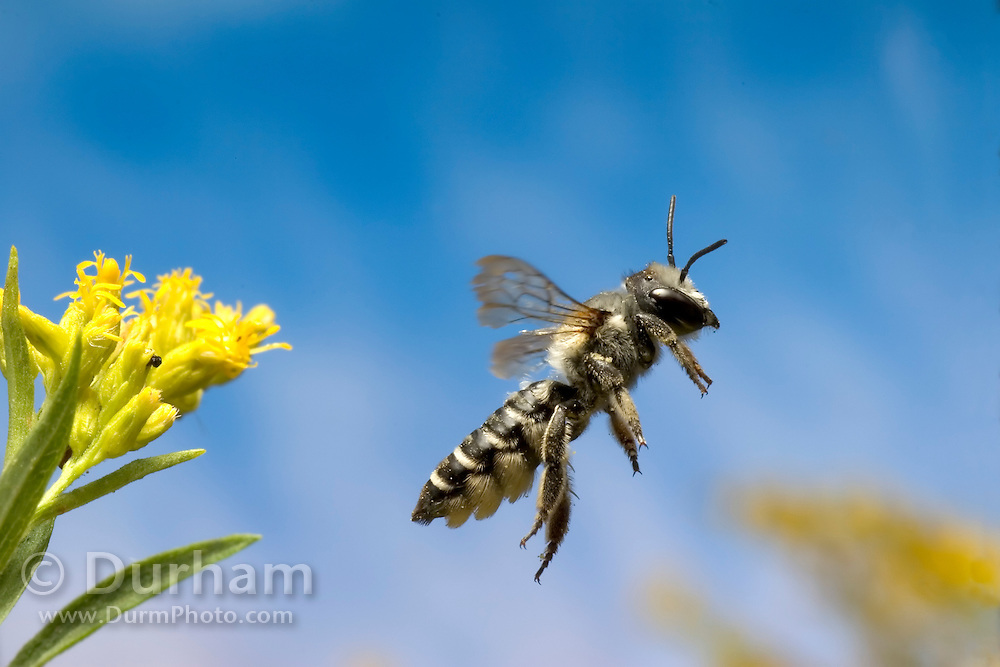A leafcutter bee (Genus: Megachile) departs a goldenrod flower (Solidago sp.) after collecting nectar and pollen.
