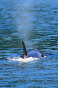 An Orca surfaces on Kachemak Bay in Alaska