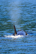 An Orca surfaces on Kachemak Bay in Alaska