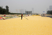"ZHENGZHOU, CHINA - SEPTEMBER 26: (CHINA OUT) <br /> <br /> Corn seeds get dried in the sun by villagers at a road on September 26, 2014 in Zhengzhou, Henan province of China. A road was full of corn seeds which looks like ""Golden road"" on September 26, 2014 in Zhengzhou, Henan province of China. <br /> ©Exclusivepix"