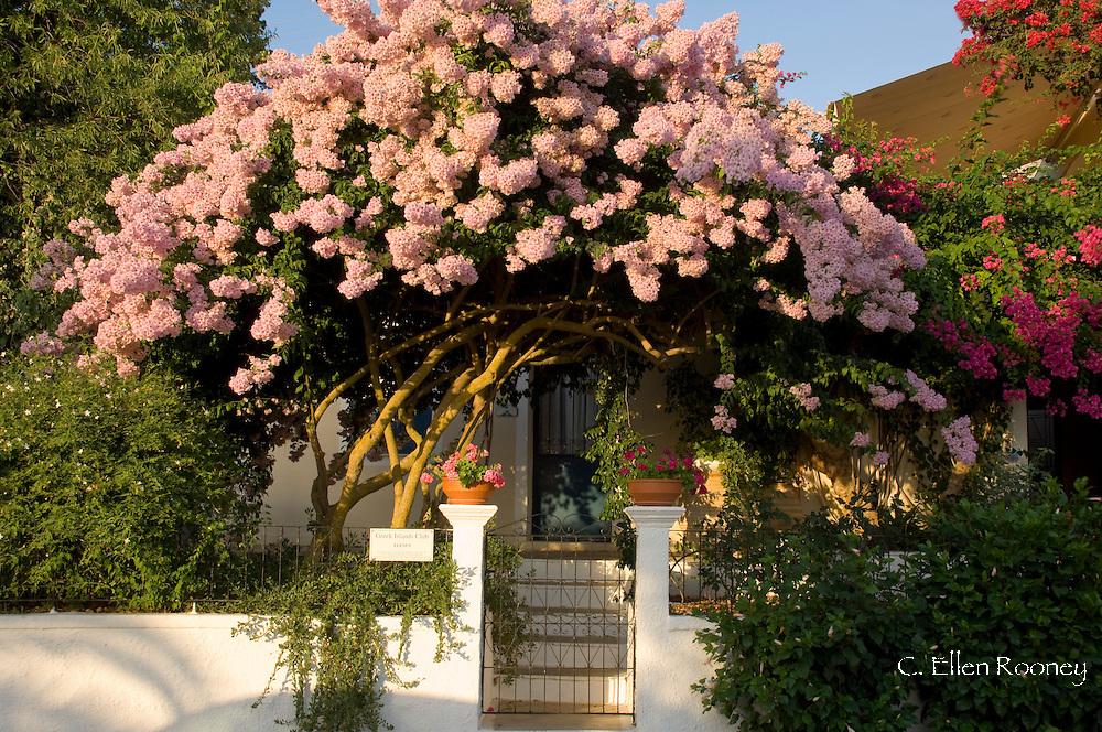 Bougainvillea growing in front of a house in Fiskardo, Kefalonia, The Ionian Islands, Greece