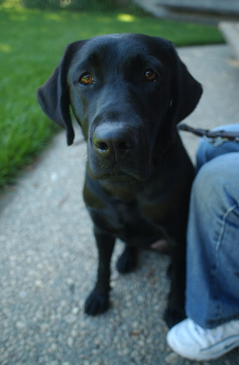 Portraits of Guide Dog for the Blind Anya, January 30 2002 - June 22 2012.