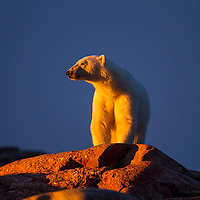 Canada, Nunavut Territory, Setting midnight sun lights Polar Bear (Ursus maritimus) standing on rocky coast of Hall Islands along Hudson Bay
