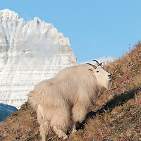 mountain goat billy cliff, mountain goat trophy billy